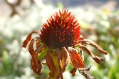 Echinacea nazomer